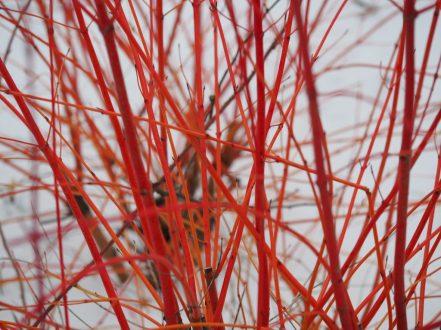 Cornus sanguinea 'Anny's Winter Orange'