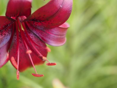 Lilium 'Night Rider'