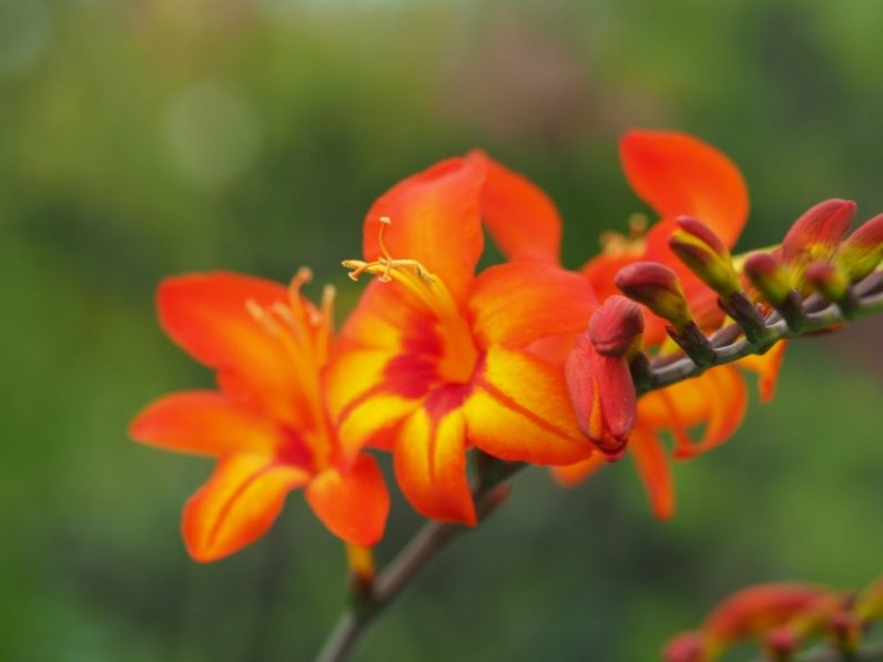 Crocosmia Firestars 'Scorchio', photographed on the Hardys Cottage Garden Plants display at RHS Hampton Court Palace Flower Show 2018