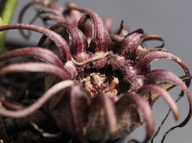 Aspidistra grandiflora