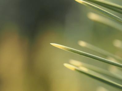 Pinus thunbergii'Ogon'