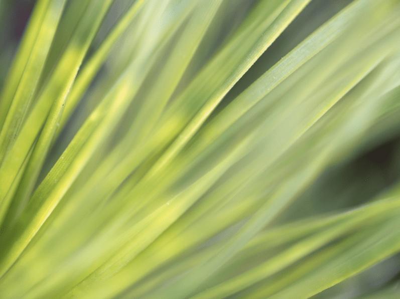 Pinus muricata 'Wakehurst'
