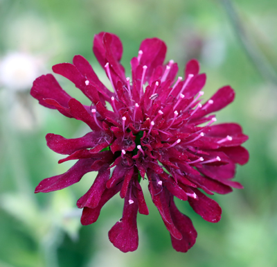 The Plant Enthusiast - Knautia macedonica small