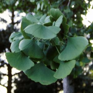 Plant Enthusiast Ginkgo Biloba