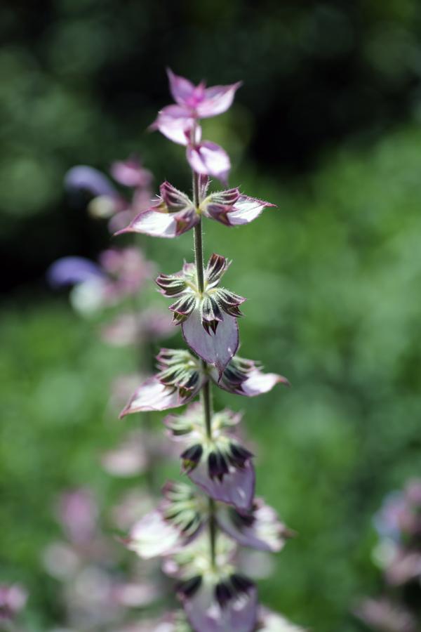 Salvia turkestanics flower later stage