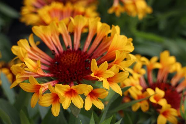 The Plant Enthusiast Gaillardia Fanfare