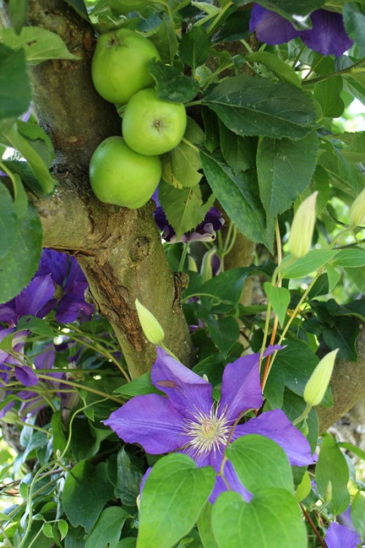 Clematis 'Perins Pride' at Mottisfont