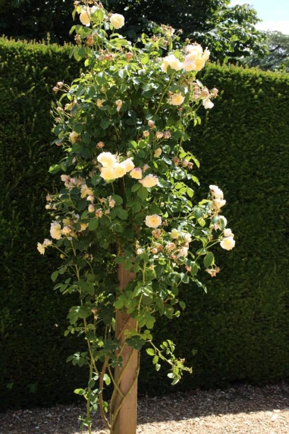 Mottisfont Abbey Gardens Rose The Pilgrim on pillar