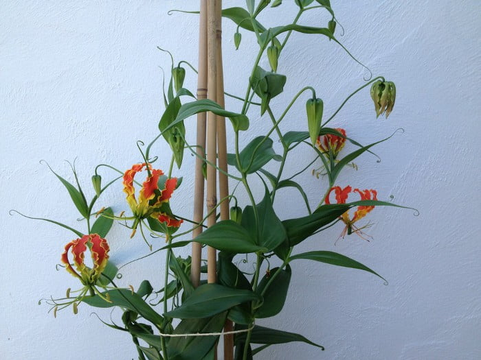 Glory lily - Flowering plants