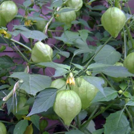 Tomatillo - Vegetable garden