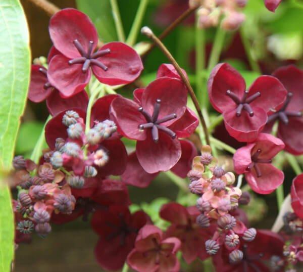 Chocolate Vine - Flowering plants