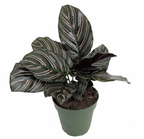 Calathea ornata - Indoor House Plants