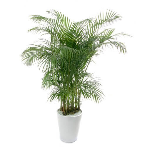 Kentia palm - Indoor House Plants