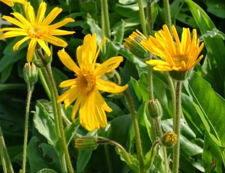 Arnica montana - Flowering plants