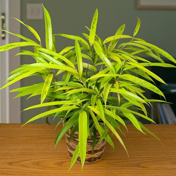 Ficus maclellandii - Indoor House Plants
