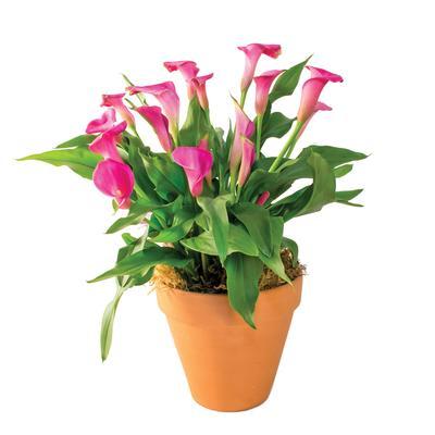 Zantedeschia rehmannii - Flowering plants