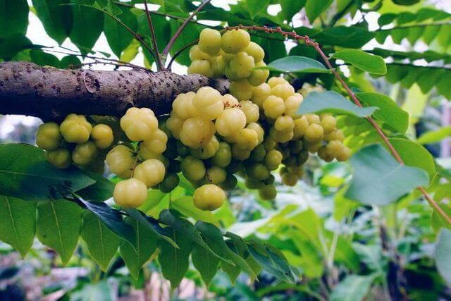 Phyllanthus acidus (Star gooseberry) - Fruit garden