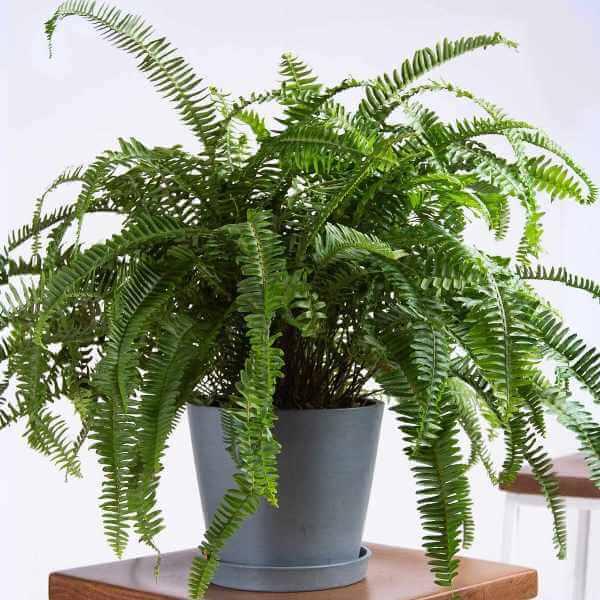 Kimberly Queen Fern - Indoor Plants