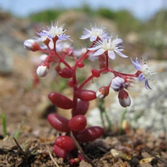 Sedum caeruleum (Azure Stonecrop)