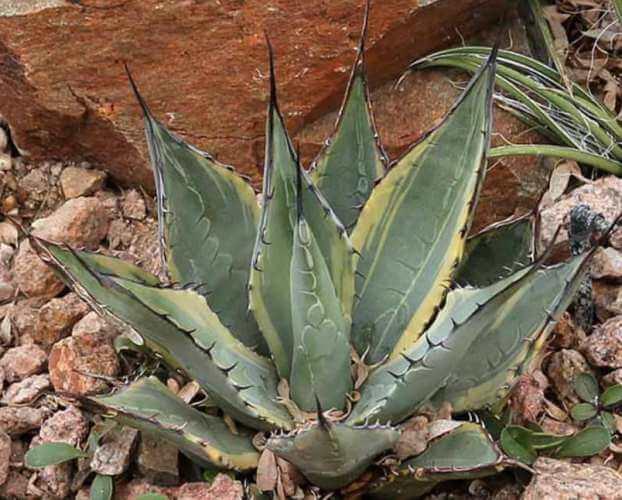 Sunspot Hardy Century Plant