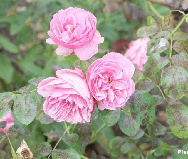 Rose In The Garden Patch