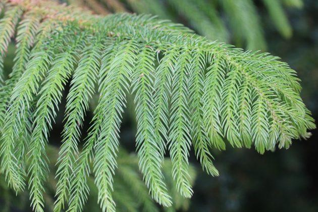 Norfolk Island Pine Plant Care How To Grow Araucaria