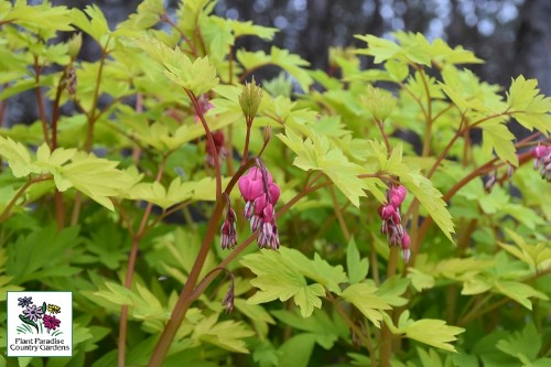 Dicentra 'Goldheart' bleeding heart