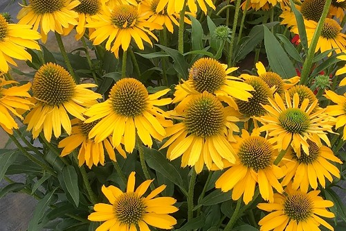 Echinacea Kismet 'Yellow' (coneflower)