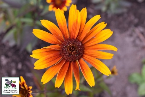 Heliopsis helianthoides 'Burning Hearts' (false sunflower)