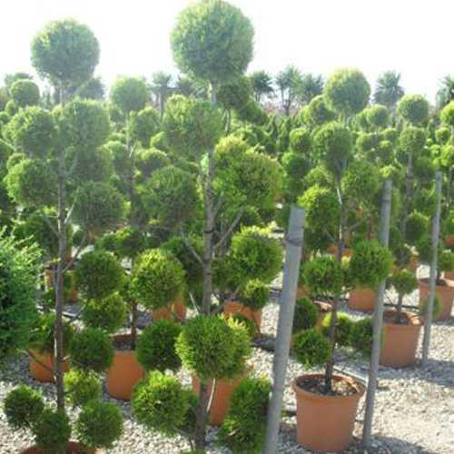 Cheap Goldcrest Conifer Pom Pom Trees Cheap Pom Pom