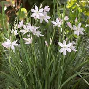 Cheap Schizostylis Pink Princess Cheap Kaffir Lily Online