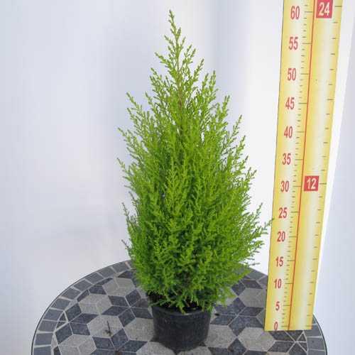 Cheap Goldcrest Wilma Online Buy Goldcrest Conifers Uk