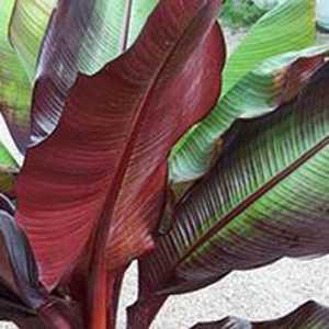 Buy Red Banana Plants Cheap Musa Tandra Plants Red