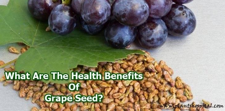 "beneficios de semilla de uva ""width ="" 728 ""height ="" 359 ""srcset ="" https://i2.wp.com/www.plantshospital.com/wp-content/uploads/2019/08/grape-seed-benefits.jpg?w=1140&ssl=1 728w, https: //www.plantshospital.com/wp-content/uploads/2019/08/grape-seed-benefits-300x148.jpg 300w ""tamaños ="" (ancho máximo: 728px) 100vw, 728px ""> <figcaption id="