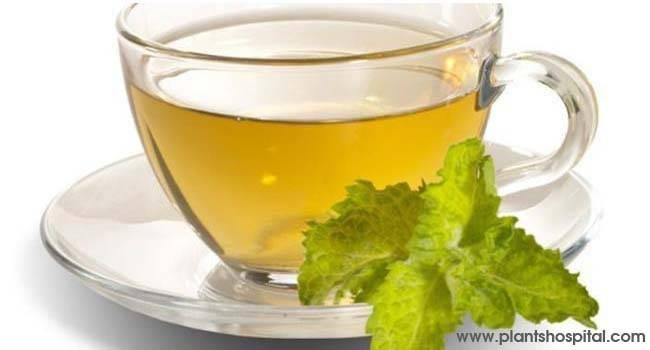 """té verde """"ancho ="""" 650 """"altura ="""" 350 """"srcset ="""" https://i2.wp.com/www.plantshospital.com/wp-content/uploads/2019/10/green-tea.jpg?w=1140&ssl=1 650w, https: // www. plantshospital.com/wp-content/uploads/2019/10/green-tea-300x162.jpg 300w """"tamaños ="""" (ancho máximo: 650px) 100vw, 650px """"></p> <h3>1. té verde</h3> <p>Algunos tés de hierbas están aquí debido a su capacidad para fortalecer el sistema inmunológico, mientras que otros tienen un efecto antioxidante para proteger contra los problemas que las enfermedades pueden crear en el cuerpo.</p> <p>El té verde es uno de ellos. Además de las propiedades antioxidantes, también fortalece el sistema inmunológico, acelera el metabolismo y es un té de hierbas que es bueno para la salud del corazón. Si no tiene la condición de beber té verde puede consumirse hasta 2 por día. 1-1.5 cucharaditas de té verde serán suficientes para una taza de té.</p> <div class="""