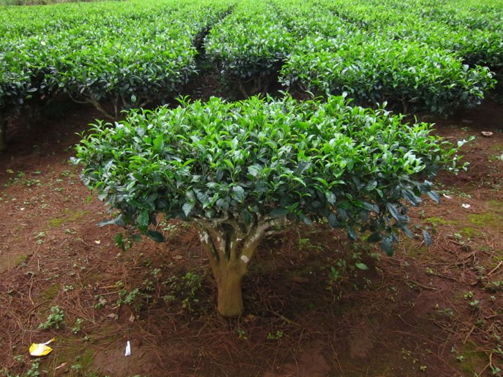 Benefits of Tea Plant Camellia Sinesis Shrub