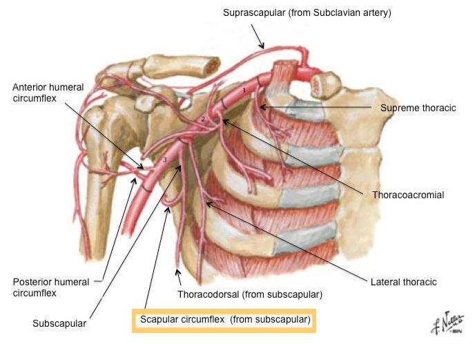 Anatomy Superficial Circumflex Scapular Artery Plastic
