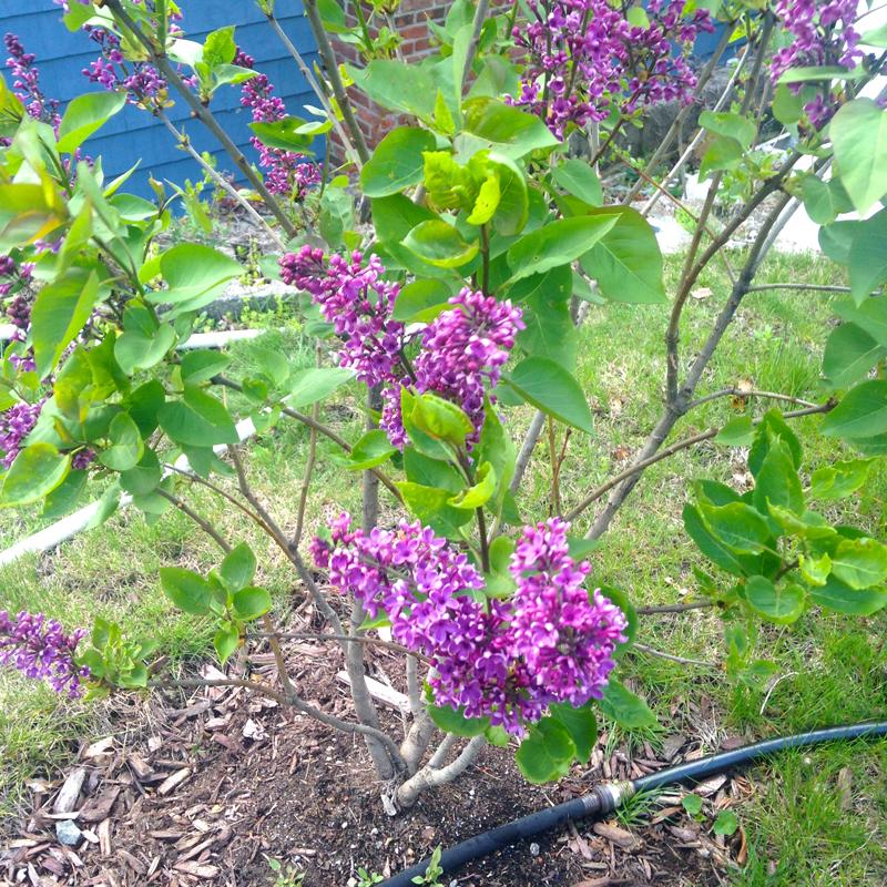 Lilacs -- Plaster & Disaster