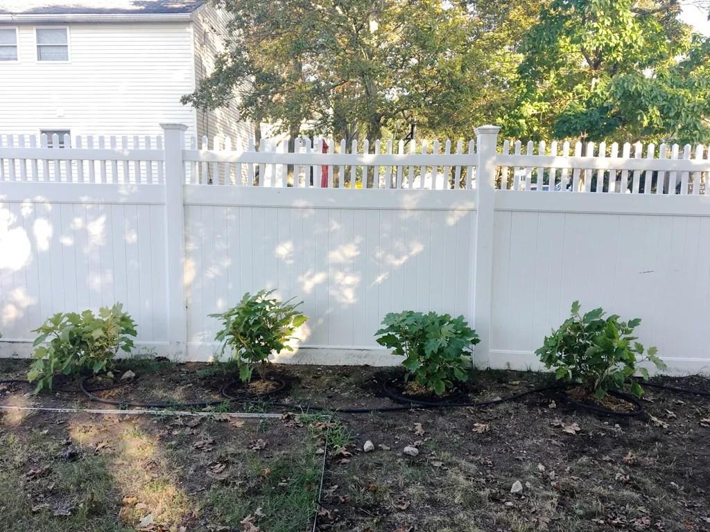 planting hydrangeas -- Plaster & Disaster