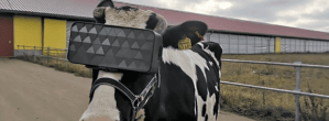 Why Is A Cow Wearing A VR Headset?