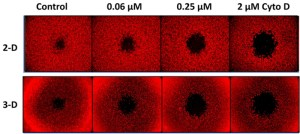 Effect of cytochalasin D on 2D cell migration and 3D cell invasion