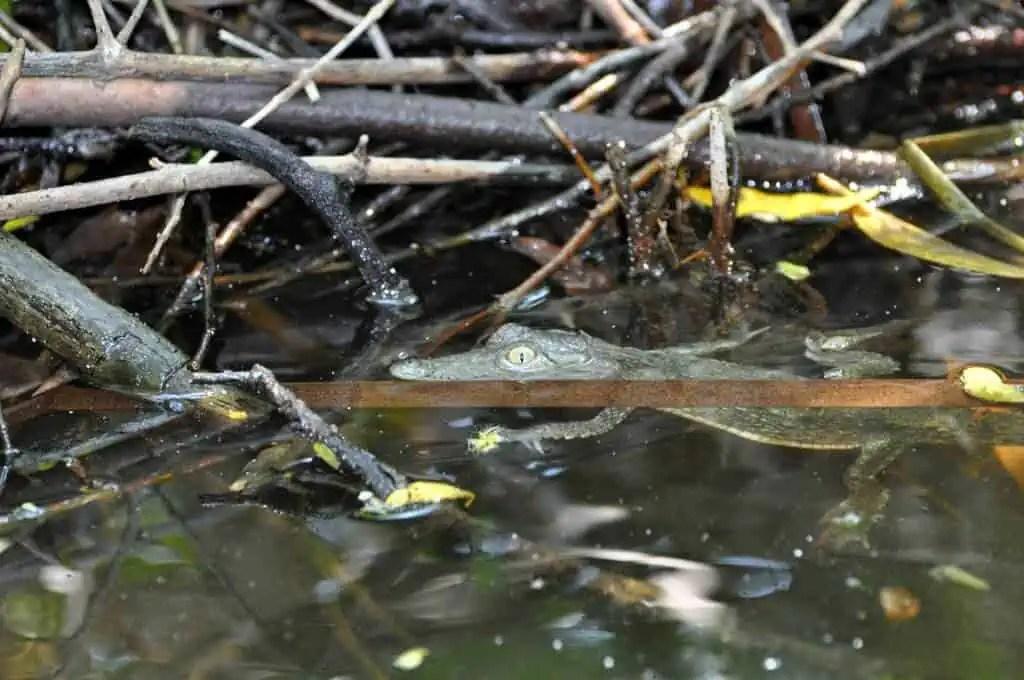 Baby crocodile at the Tonrtugario de Cuyutlá