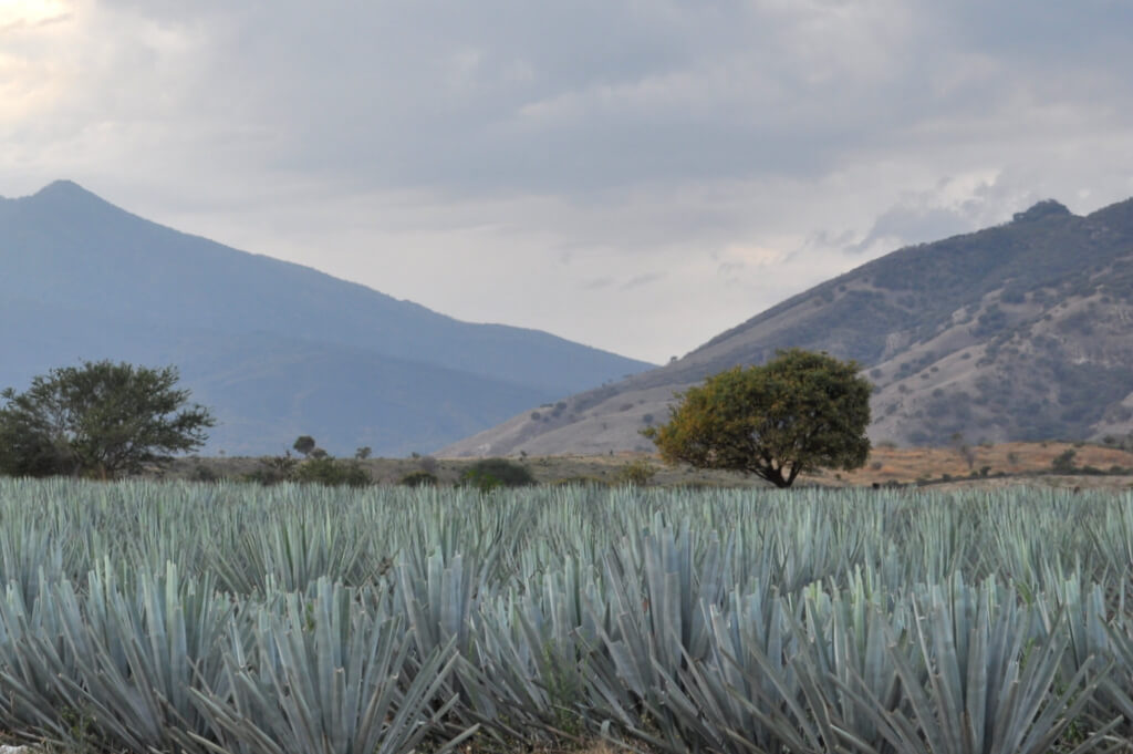 Agave fields below the Tequila Volcano in Jalisco, Mexico