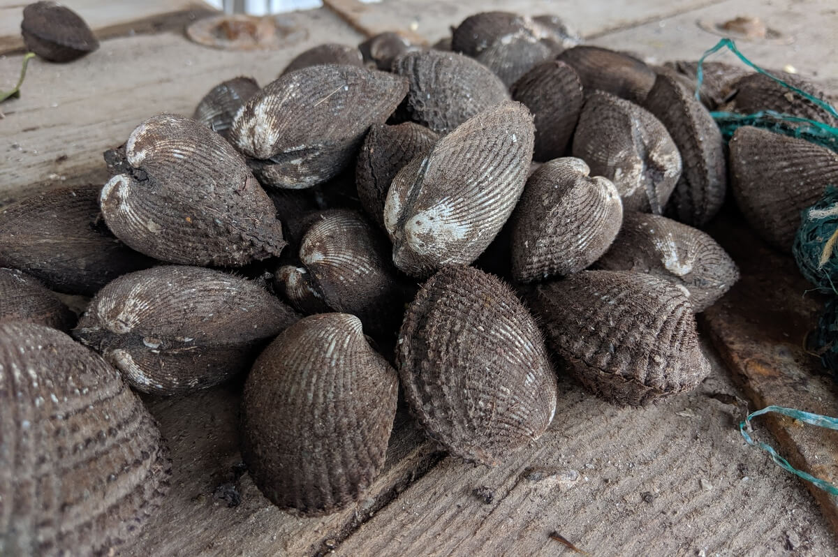 Live and unopened pata de mula clams
