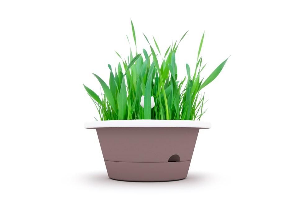 Evergreen vaso con erba gatta