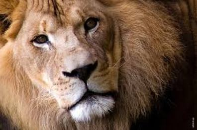 Picture of the lion Aslan