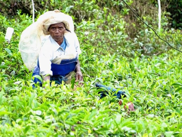 Une indienne dans des champs de the a Munarr dans le kerala en Inde