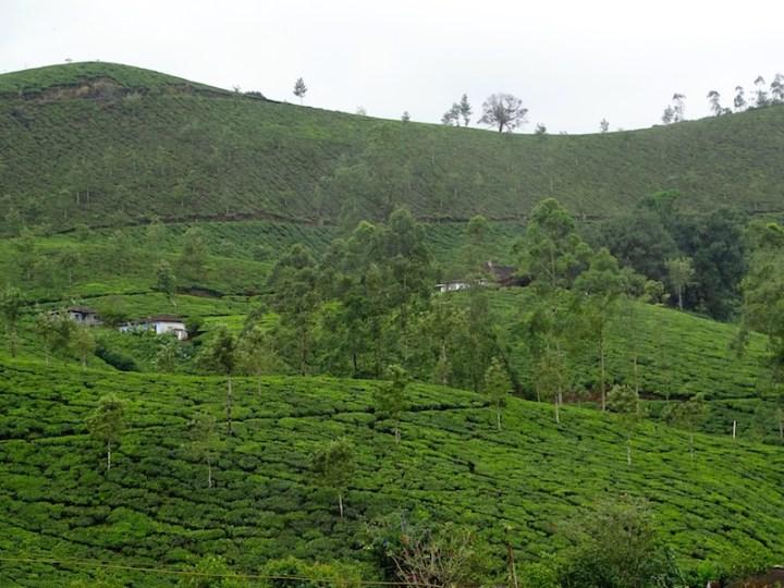 Des champs de the a Munarr dans le kerala en Inde