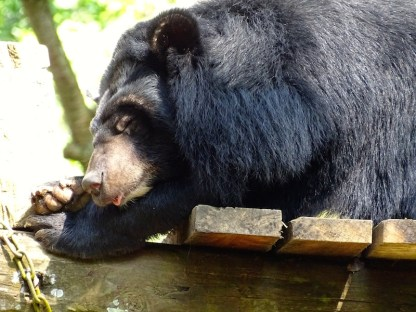 Un ours noir d'Asie a luang prabang au laos