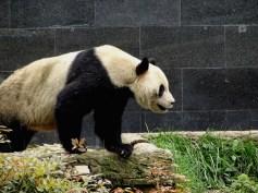 ©playingtheworld-chine-panda-bifengxia-voyage-29
